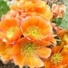 Winter Hardy Prickly Pear Cactus LARGE ORANGY BLOSSOMS!!!