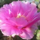 Winter Hardy Opuntia Prickly Pear Cactus Large Ruffled Pinkish Blossoms!!!