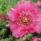Winter Hardy Prickly Pear Opuntia Cactus Ruffled Light Raspberry Blossoms!!!
