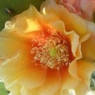 Winter Hardy Prickly Pear Cactus GORGEOUS GOLD FLOWERS!!!
