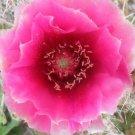 Winter Hardy Prickly Pear Opuntia Cactus Ruffled DARK PINKISH BLOSSOMS!!!