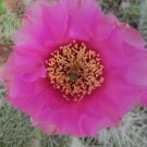 Winter Hardy Prickly Pear Opuntia Cactus LARGE MEDIUM PURPLE BLOSSOMS!!!