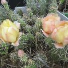 Winter Hardy Miniature Prickly Pear Cactus Yellow Fade Peach Pink Flowers!!!