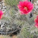 Winter Hardy Prickly Pear Opuntia Cactus Ruffled Pink Red Blossoms!!!