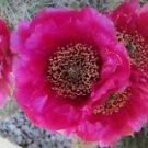 Winter Hardy Opuntia Prickly Pear Cactus Ruffled Red Magenta Blossoms!!!