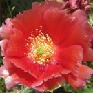 Winter Hardy Opuntia Prickly Pear Cactus Large Red-Orange-Pink Blossoms!!!