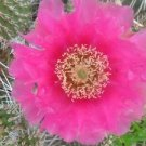 Winter Hardy Opuntia Prickly Pear Cactus LG PINKISH CREAM BLOSSOMS!!!