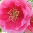 Winter Hardy Prickly Pear Cactus LARGE RUFFLED HOT PINK BLOSSOMS!!!