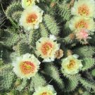 Winter Hardy Prickly Pear Opuntia Cactus BEAUTIFUL PALE YELLOW CREAM FLOWERS!!