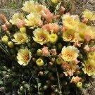 Winter Hardy Miniature Opuntia Prickly Pear Cactus CREAMY YELLOW FLOWERS!!!