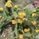 Winter Hardy Prickly Pear Cactus BEAUTIFUL LARGE RUFFLED YELLOW BLOOMS, BOLD!!!