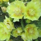 Winter Hardy Prickly Pear Opuntia Cactus Large Ruffled Yellow Flowers!!! 3 for 1