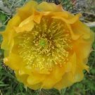 Winter Hardy Prickly Pear Opuntia Cactus RARE Butterscotch Yellow Blossoms!!!