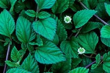 Aztec sweet herb-Lippia dulchis-better than stevia.safe for diabetic.Mint Mayan 30+ seeds