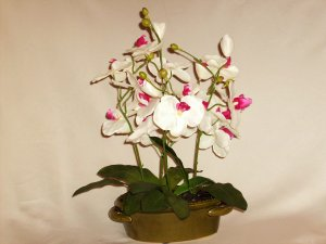 Dancing Phalaenopsis Orchids