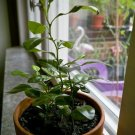 10 THAI KAFFIR LIME SEEDS, Fragrant & Organic Source of Lime Leaves for Cooking