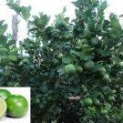 Thai Tropical Key Lime 10 Seeds Citrus Aurantifolia Fresh