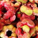 10 Thai Sweet Manila Tamarind Seeds,Madras Thorn Pithecellobium Dulce Guamuchil