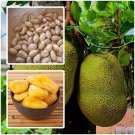 Artocarpus heterophyllus 10 seeds Jackfruit for planting from Thailand