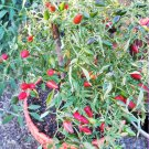 100 Thai Very Hot Red Chili Pepper Seeds,Organic Chilli Vegetables,Home Garden