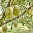 3 Thai Durian Seeds,King Of Fruits Tropical Seasonal Rare Fresh New Delicious