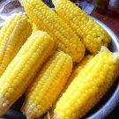 20 seeds Waxy corn(sai-nam-pueng), Zea mays ceratina sweet corn Thai