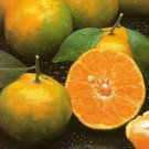 10 seed Tropcal Thai Tangerine Orange 10 Seeds Fruit Tree very sweet Citrus Tangerina