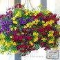 Heirloom Hanging Petunia Mixed Seeds,200 Seeds / Pack,Beautiful Garden Flowers