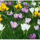 Saffron seeds,saffron flower seeds In bloom all year round, garden decoration