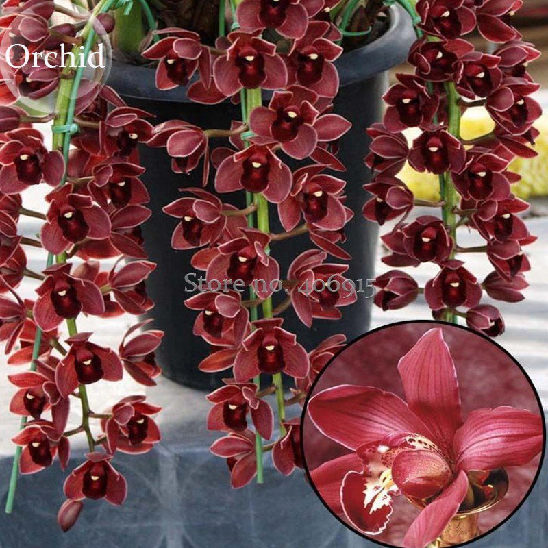 Rare Wild Orchids Dark Red Colors Perennial Flowers, 100 Seeds light fragrant