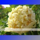 Yellow Chinese Tree Peony Seeds ''China Peony Yao's Yellow - Yao Huang