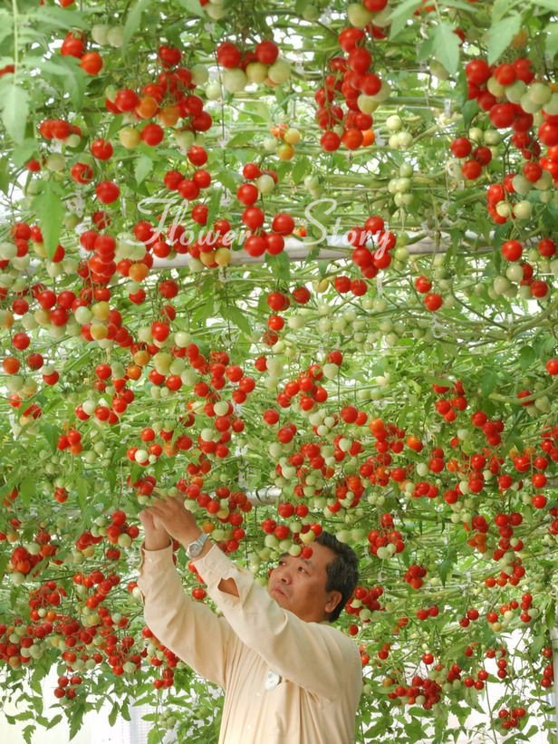 20 Italian Tree Tomato *RARE HEIRLOOM!!* SEEDS OF LIFE TOMATO GIANT TREE