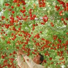 20 Italian Tree Tomato *RARE HEIRLOOM!!* SEEDS OF LIFE TOMATO GIANT TREE