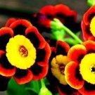Heirloom Liesl Tri-color Rare Petunia Annual Flower