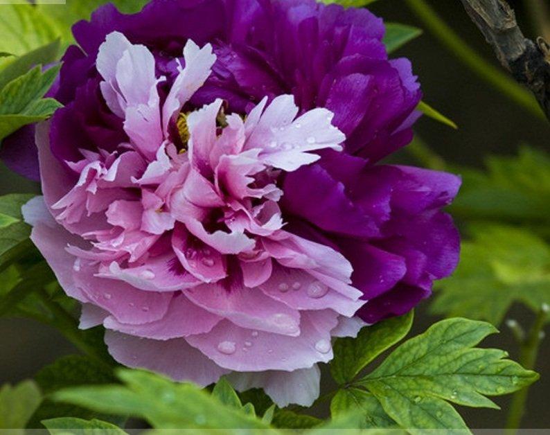 Rare New 'Za Gu' Pink Purple Peony Tree Flower Seeds