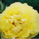 Rare New 'Huang Huakui' Golden Yellow Peony Flower Seeds