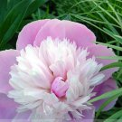 Pink and White Japanese Peony Flower Seeds
