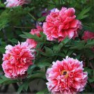 Rare White Red Tree Peony Seeds, Professional Pack