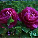 Rare Heirloom Big Blooming Purple Peony Shrub Flower 'Zi Cai' Seeds