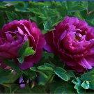 Rare Heirloom Big Blooming Purple Peony Shrub Flower 'Zi Cai' Seeds
