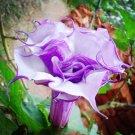 Purple Corrugated Double Morning Glory 10 Seeds