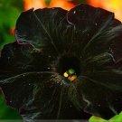 Rare Super Black Cat Petunia Flower Seeds