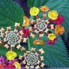 Lantana Camara Perennial Big Wild Sage Flower Seeds,