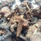 Mochrus Gum Of Silk Cotton Tree Bombax Malabaricum Gum (100gm) Pure & Authentic