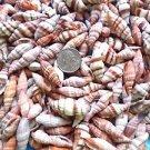 Seashells Striped Shells Beachy Set Coastal Vase Filler Aquarium Spiral Colorful