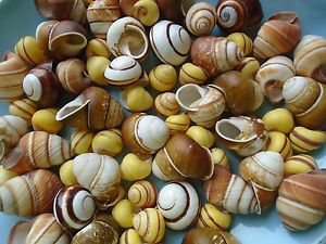 Mini Land Snails Seashells Crafts Sea Shells Small Conch Yellow Colorful Spiral