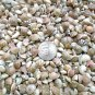 MINI Spiral Stripe Umbonium Seashells Mix Crafts Shell Vase Filler Fairy Garden