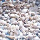 Seashells MINI MIX White Ivory Crafts Shell Wedding Scrapbook Sailors Valentine
