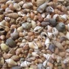 300 Seashells Scrapbook Craft Miniature Shell Wedding Mix Sailors Valentine