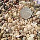 1k Mini Tiny Seashells Mix Fairy Garden Craft Miniature Sea Shell Beach Wedding